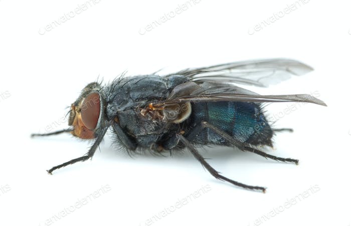 Big blue redhead fly (Calliphora vicina)