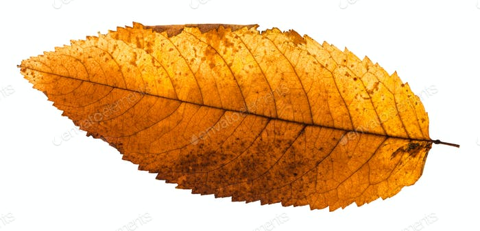 back side of autumn rotten leaf of ash tree
