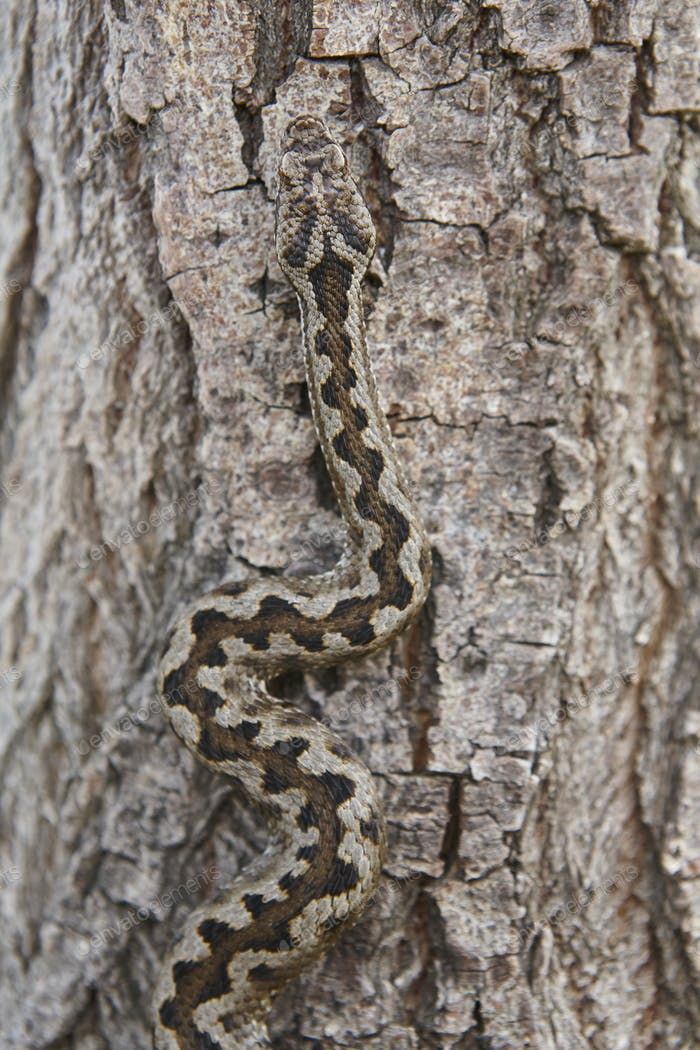 Snake camouflage. Vipera aspis detail on a trunk surface. Vertical