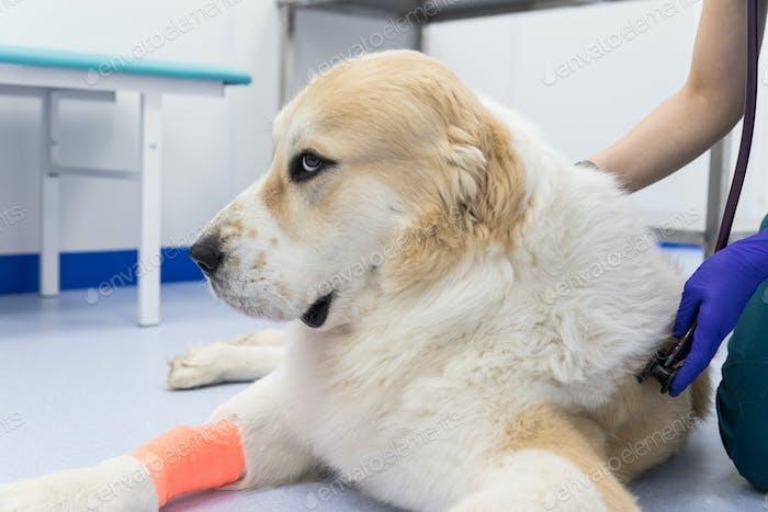 Primer plano del veterinario con estetoscopio que revisa el examen del perro enfermo en la clínica veterinaria.