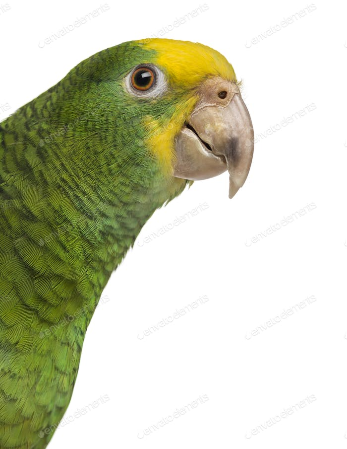 Close-up of a Yellow-headed Amazon (6 months old), isolated on white