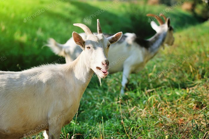 Goats on pasture on a sunny day