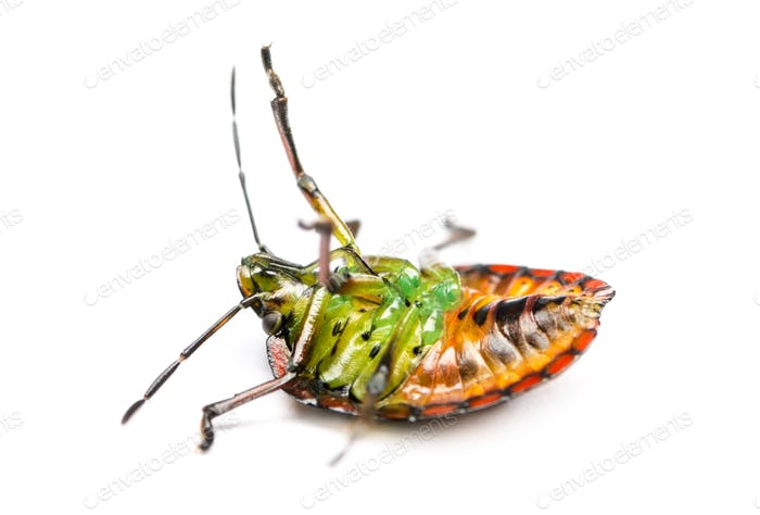 Southern green stink bug, Nezara viridula, on its back