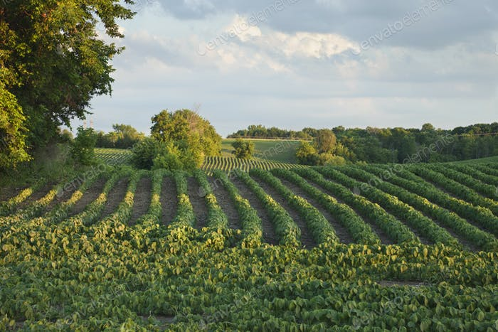 Soybean Field in Late Afternoon Sunlight