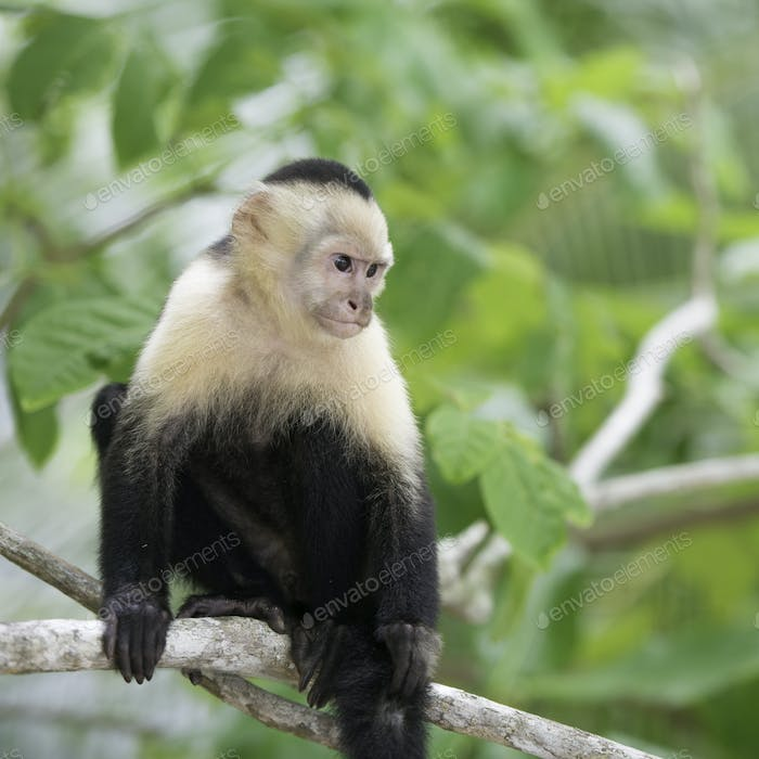 Gracile Capuchin Monkey, Wildlife in Central America.