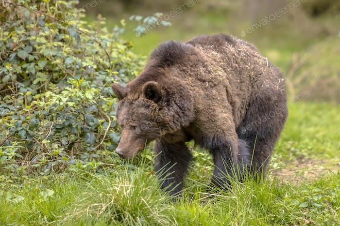 Europäische Braunbärensuche im Waldlebensraum