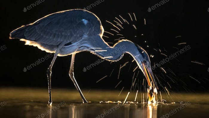 Silhouette of Grey heron hunting for fish at night