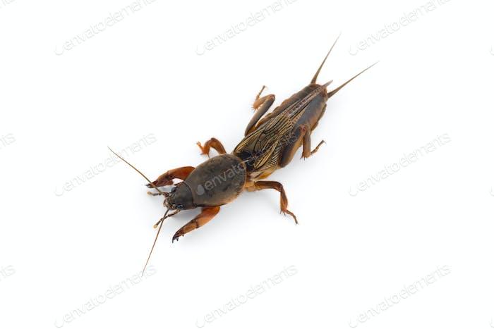 das europäische Maulwurf Cricket Makro Foto isoliert auf weißem Hintergrund