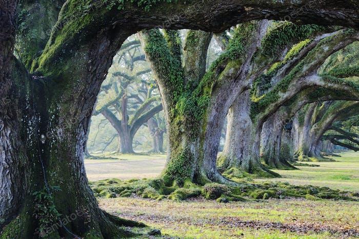 Alte Wachstumsbäume