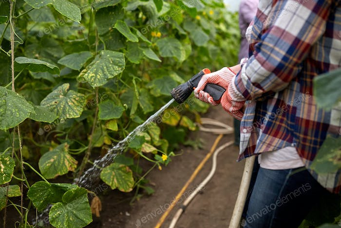 farmer with garden hose watering at greenhouse