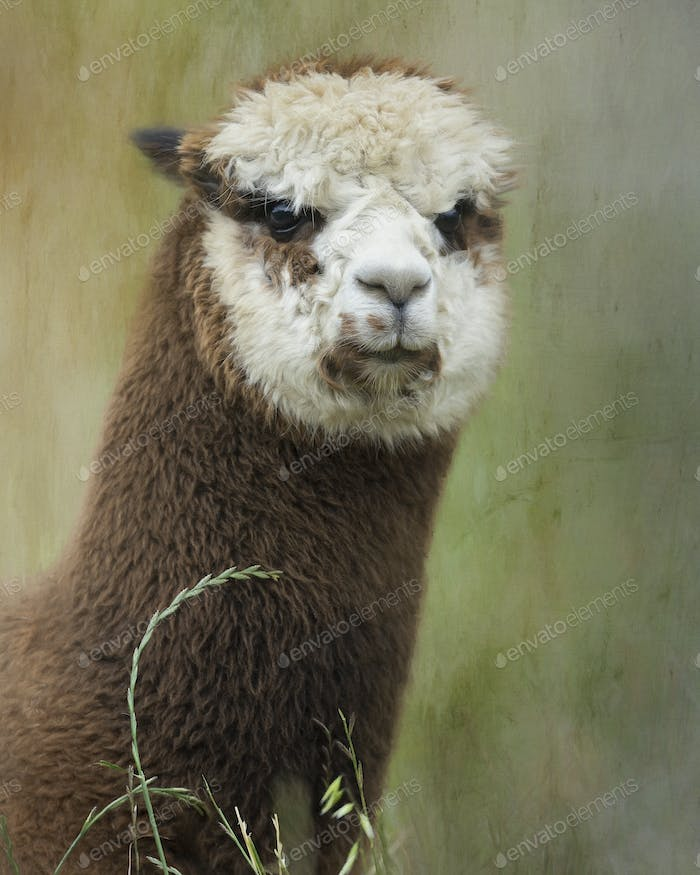 Composite portrait of a brown and white alpaca in full fleece