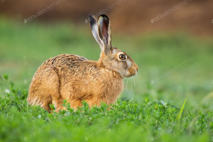Brown hare sitting in green clover in springtime nature