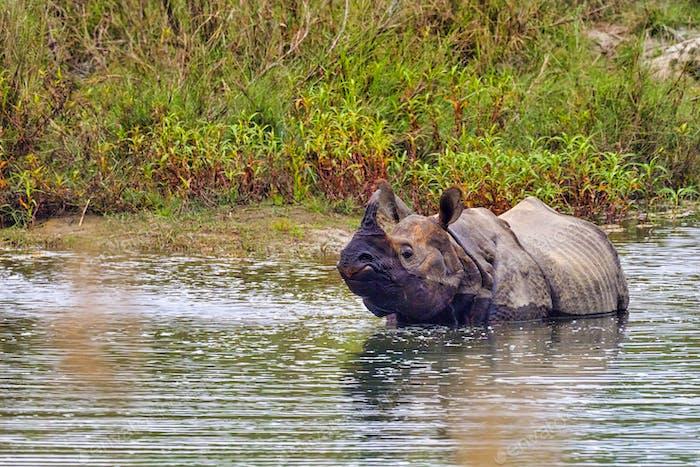 Greater One-horned Rhinoceros, Royal Bardia National Park, Nepal