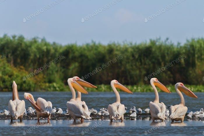 weiße Pelikane