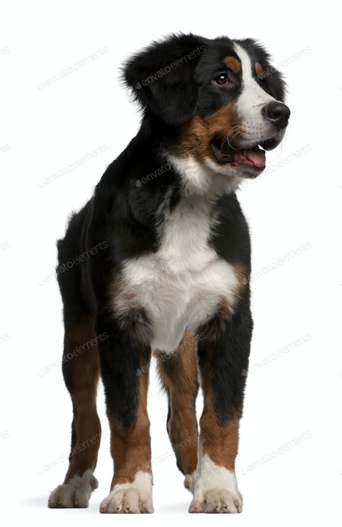 Bernese Mountain Dog puppy (4 months old)