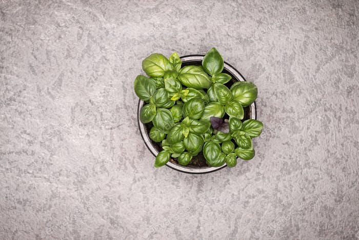 Sweet green basil leaves in pot on rustic background. Healthy eating concept. Top view.