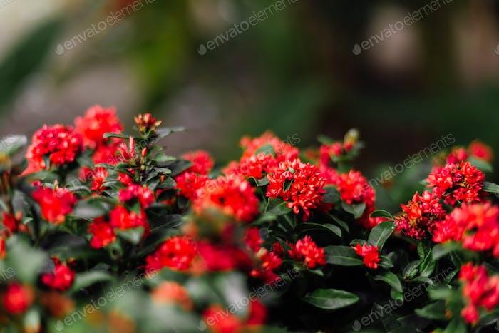 Tropical milkweed. Thai little red orange flowers on green bush. Plant in the pot