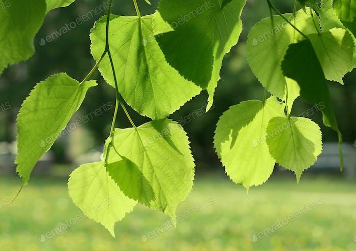 frische grüne Frühlingsblätter, die im Sonnenlicht leuchten