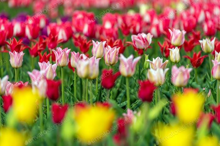 Frühlingsfelder blühender Tulpe. Beauty Outdoor-Szene