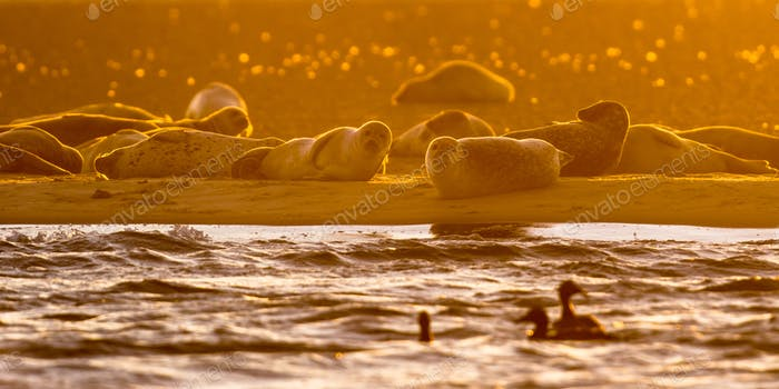 Harbor Seals on sandbank at sunset