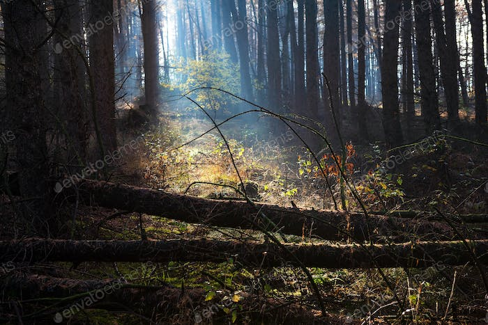 morning sunshine in autumn forest