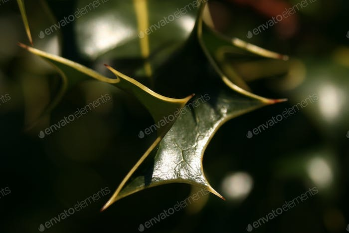 Green Holly Leaves in Forest