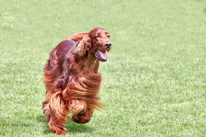 Irish setter runs across a green field.