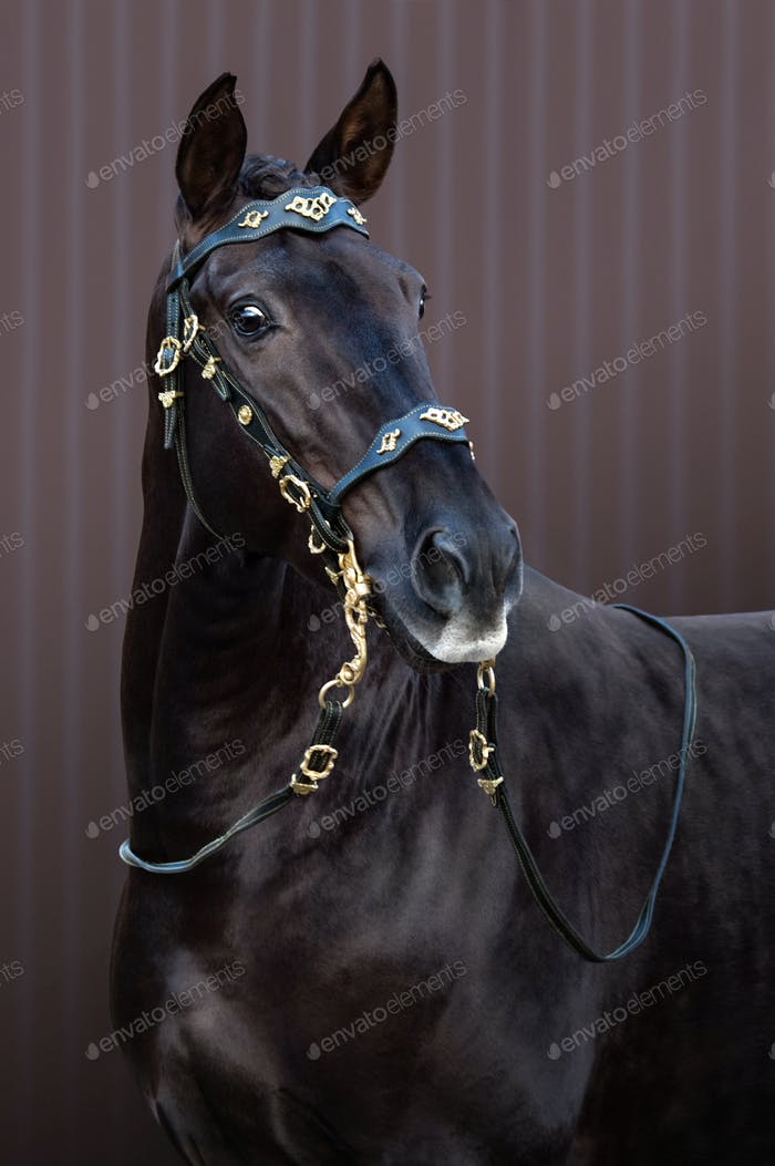 Thumbnail for Lusitano horse in baroque bridle on striped background.