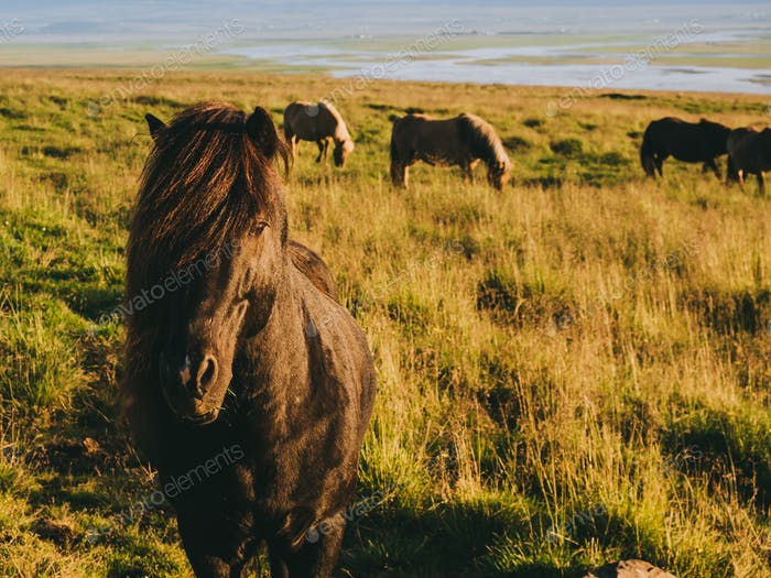 beautiful icelandic horse grazing on meadow at daytime