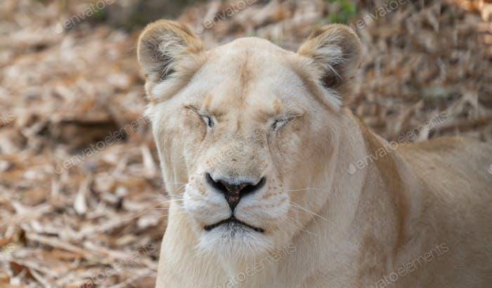female african lion relax and lay down on the ground