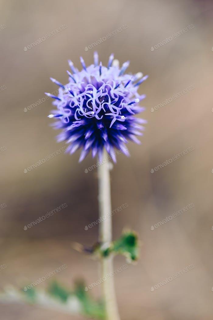 Flower head of wild globe thistle