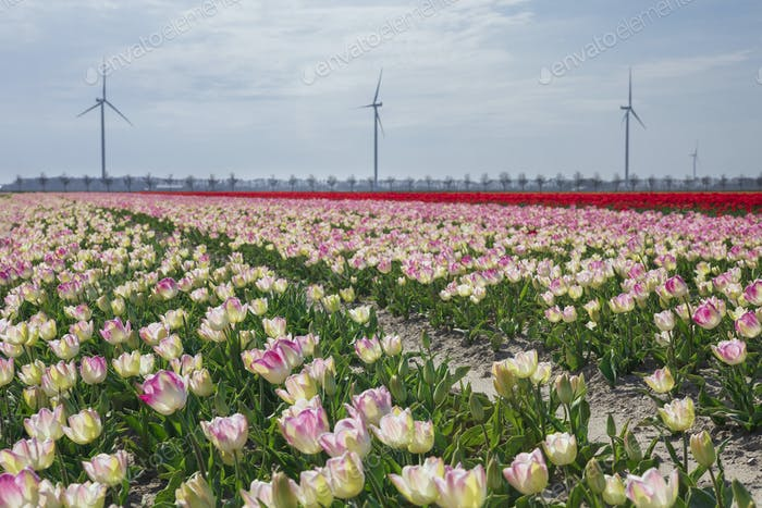 pink and red tulip field on sunny spring day