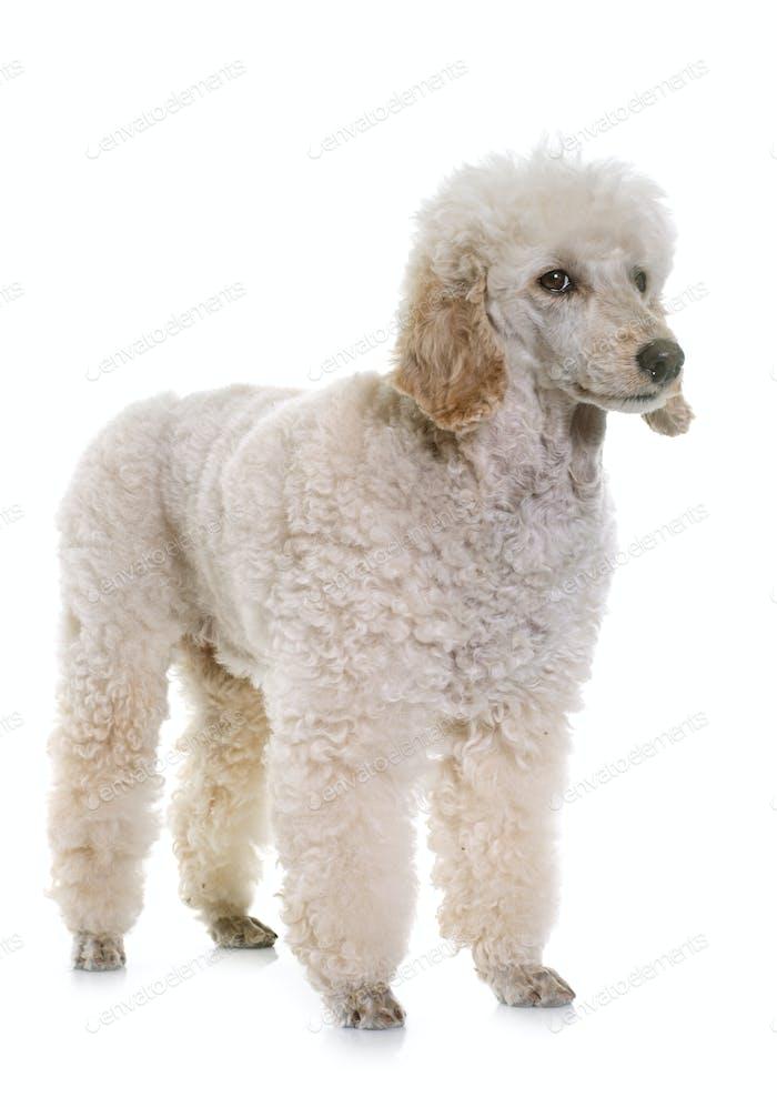 white poodle in studio