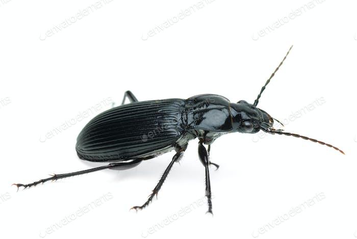 Black carabus beetle
