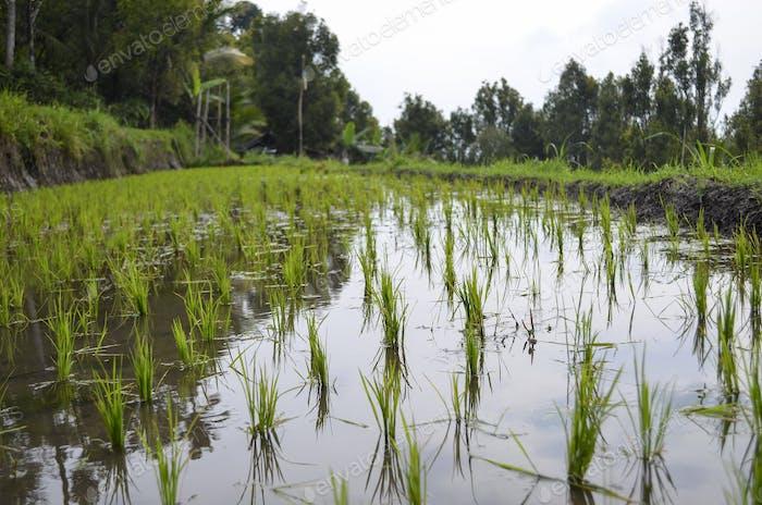 Reisfelder, flaches Wasser und Reispflanzen, Reisfelder.