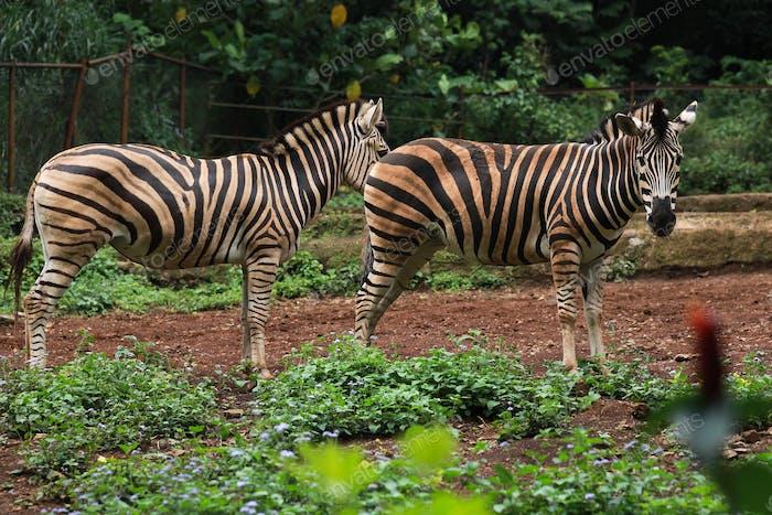 Couple of Zebra Horse