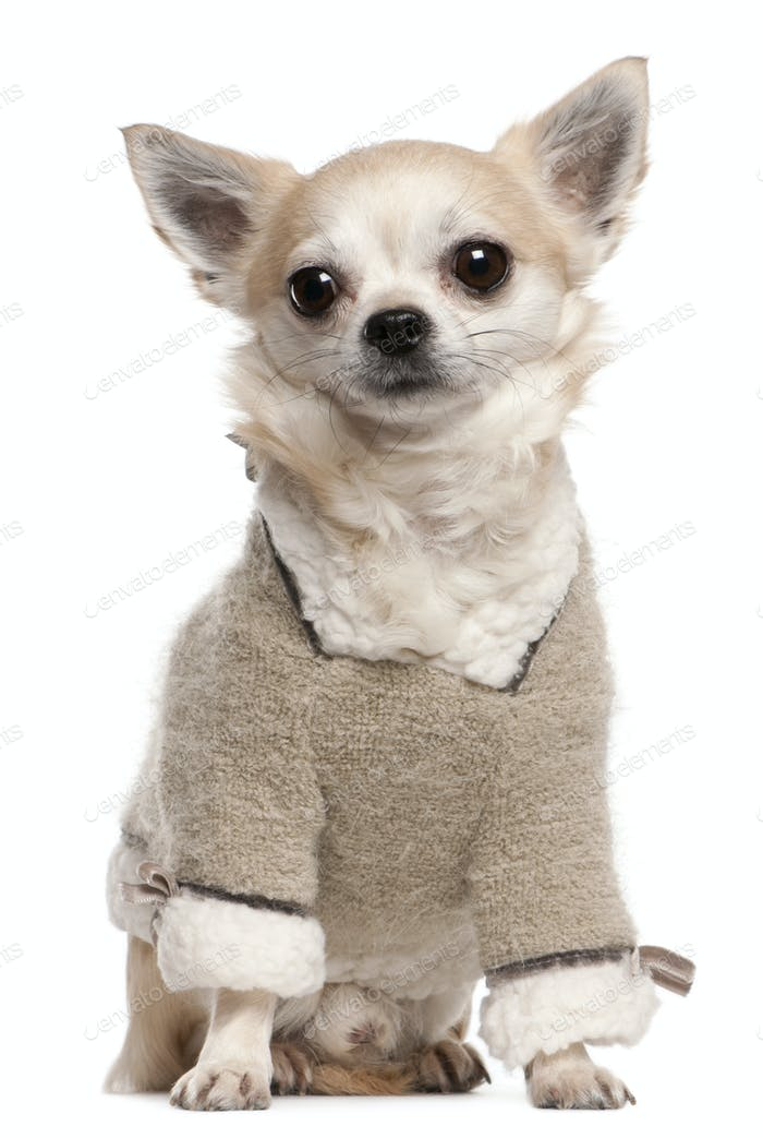 Chihuahua (4 years old)