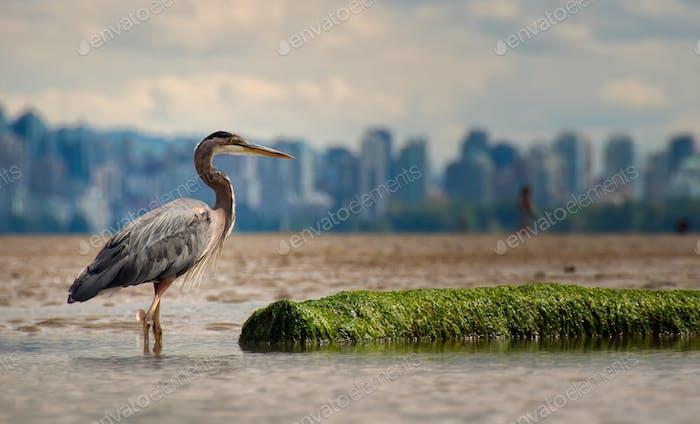 Heron With Log And Vancouver Skyline