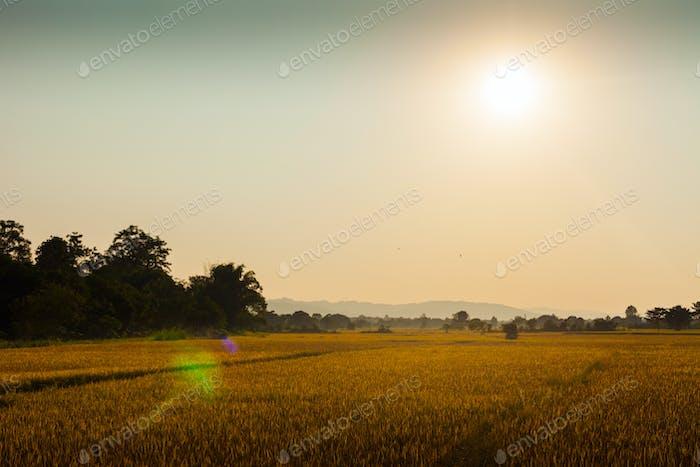 Rice fields in Chitwan, Nepal