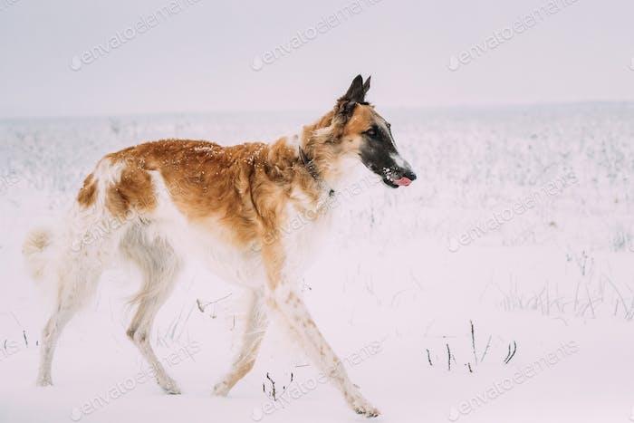 Russian Wolfhound Hunting Sighthound Russkaya Psovaya Borzaya Dog