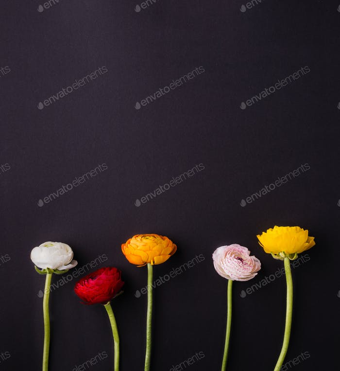 Colorful ranunculus flowers on a dark background. Copy space.