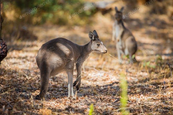 Kangaroo eating in woods