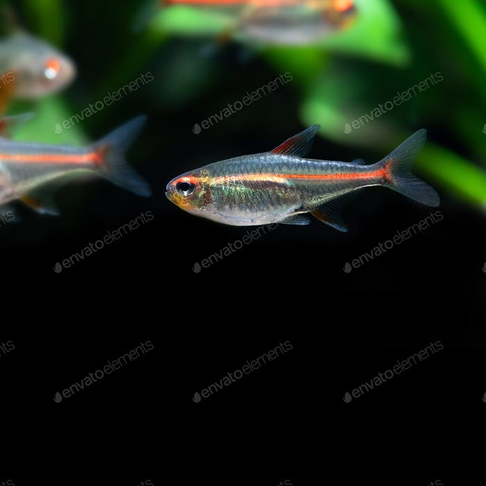Tropical aquarium fish Glowlight tetra or Hemigrammus erythrozonus