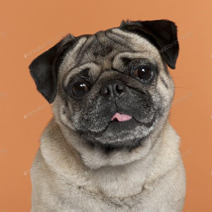 Pug (2,5 years old)