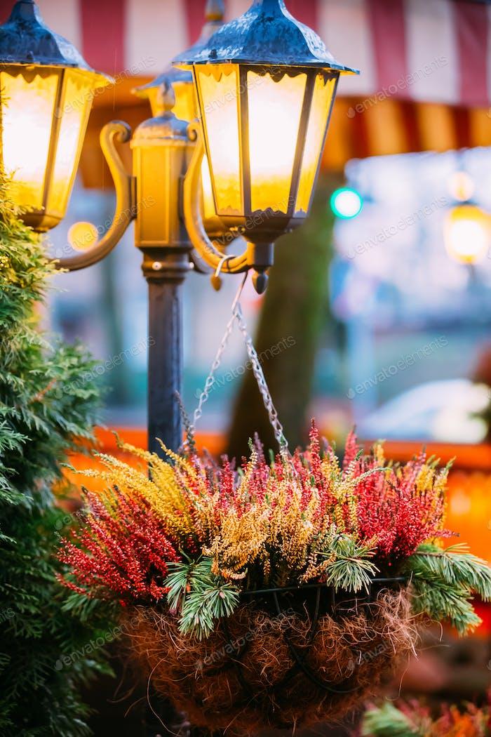 Busch von bunten Calluna Pflanzen in hängenden Töpfen unter dekorativen