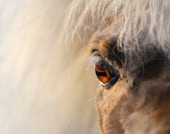 Close up shot - Eye of Miniature Horse