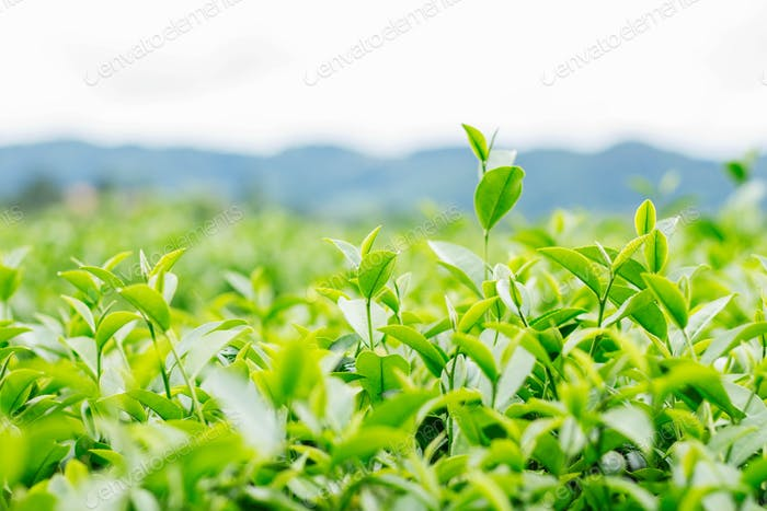 Green tea with mountain background