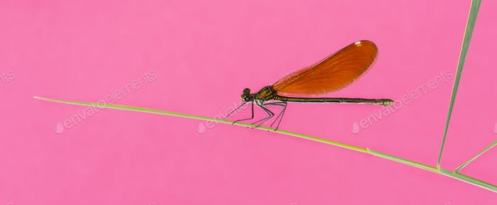 Female beautiful demoiselle - Calopteryx virgo, on grass blade in front of a pink background