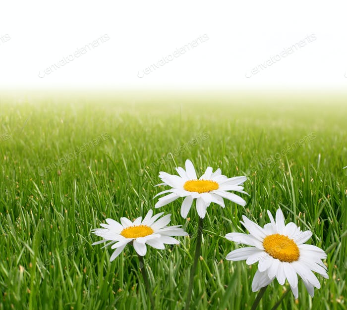 chamomile flower in grass