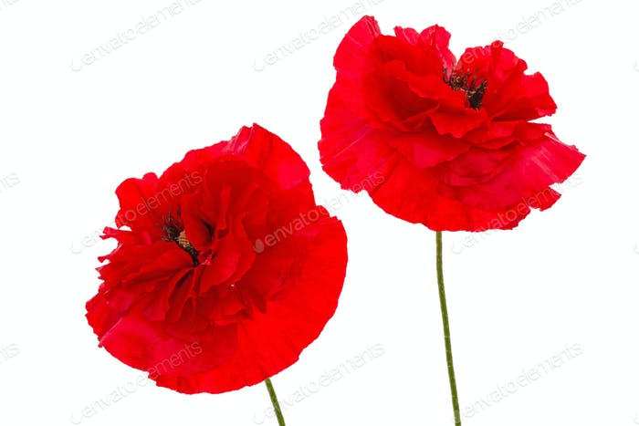 Flowers of red poppy, lat. Papaver, isolated on white background